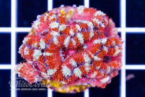 Acanthastrea Hippie Flavour