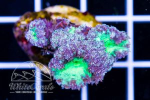 Blastomussa wellsi Purple and Green