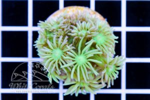 Goniopora Green