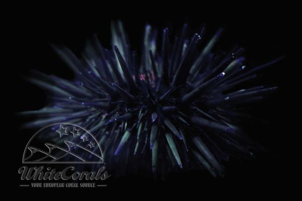 Echinometra lucunter - Sea Urchin