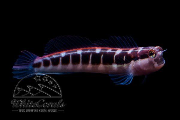 Ecsenius lineatus - Gestreifter Blenny