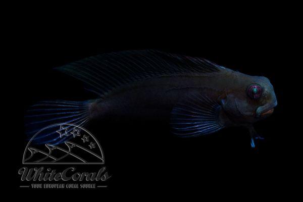 Ecsenius namiyei - Schwarzer Schleimfisch