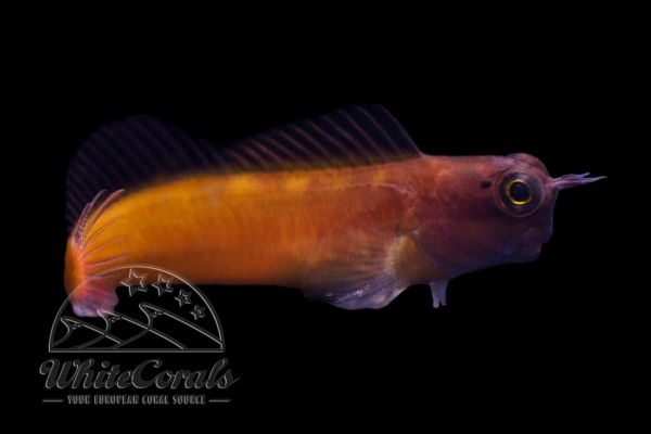 Ecsenius ops - Schleimfisch