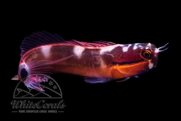 Ecsenius stigmatura - Schwanzfleck Schleimfisch