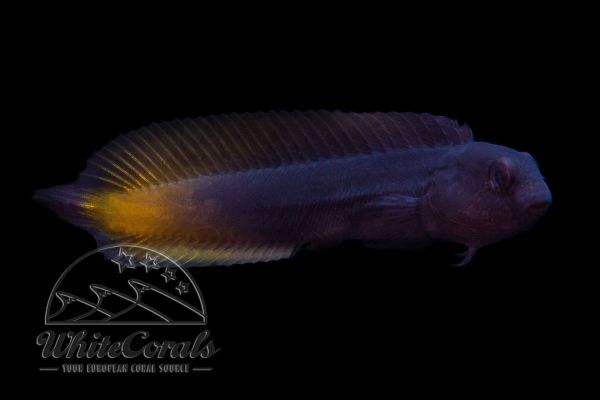 Enchelyurus flavipes - Blenny