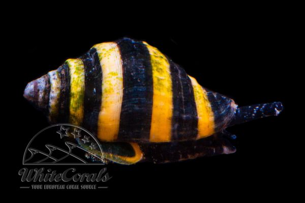 Engina mendicaria - Bumble Bee Snail