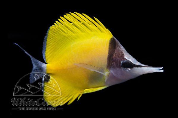 Forcipiger flavissimus - Gelber Langnasen Pinzettfisch