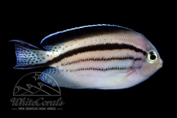 Genicanthus lamarck - Blackstriped angelfish