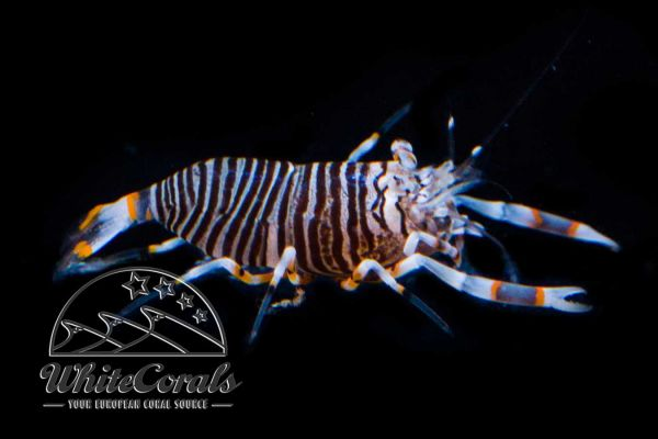 Gnathophyllum americanum - Striped Bumblebee Shrimp