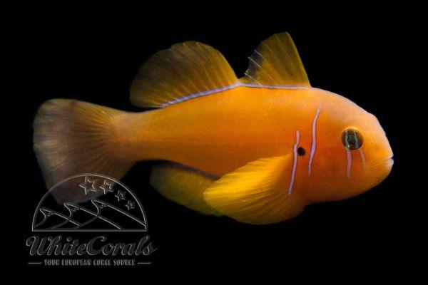 Gobiodon citrinus - Zitronengrundel