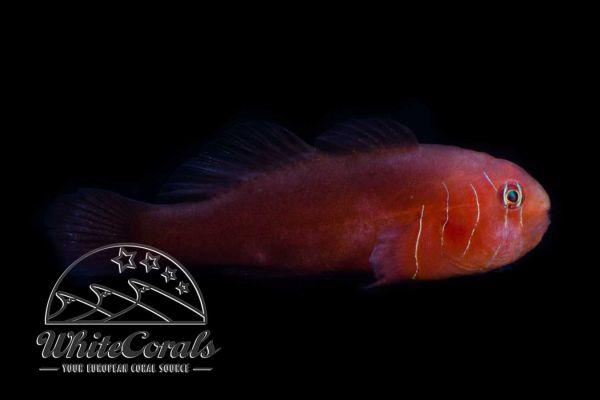 Gobiodon quinquestrigatus - Five-lined coral goby