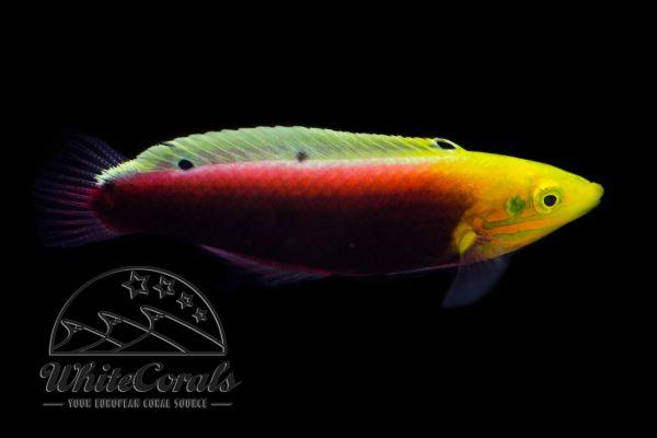 Halichoeres iridis - Radiant Wrasse