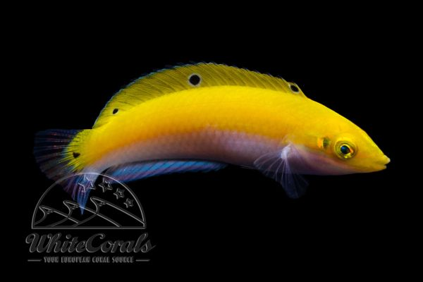 Halichoeres leucoxanthus - Indischer Kanarien Lippfisch