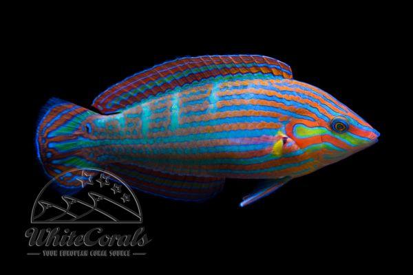 Halichoeres melanurus - Regenbogenlippfisch