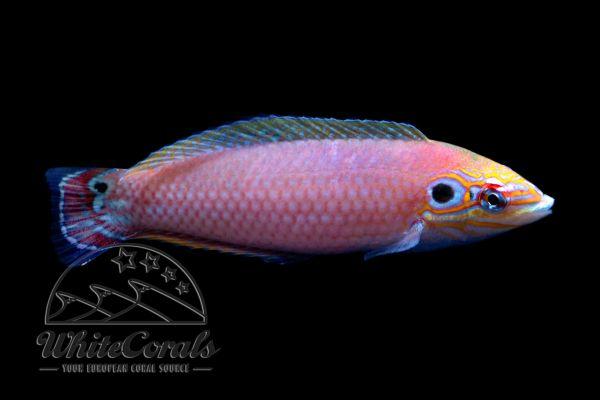 Halichoeres melasmapomus - Ohrenfleck-Lippfisch