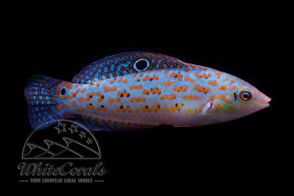 Halichoeres timorensis - Timor-Lippfisch