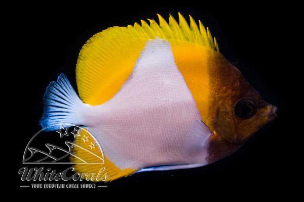 Hemitaurichthys polylepis - Gelber Pyramiden-Falterfisch