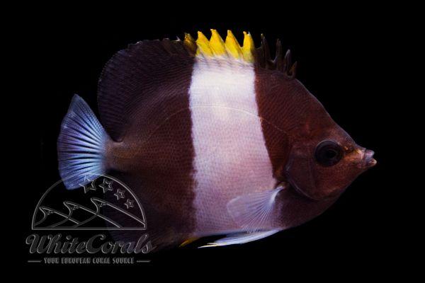 Hemitaurichthys zoster - Black Pyramid Butterflyfish