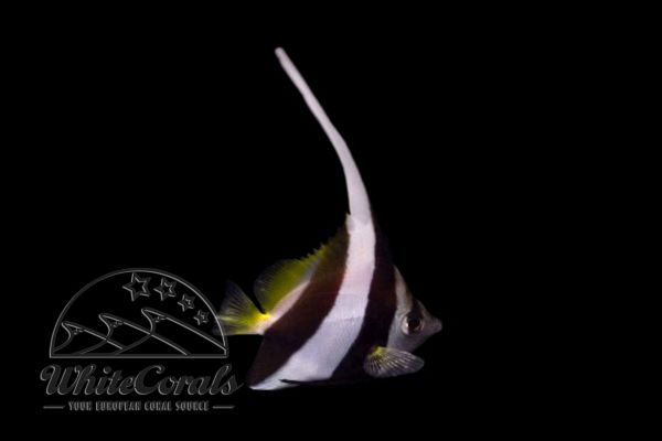 Heniochus diphreutes/acuminatus - False moorish idol
