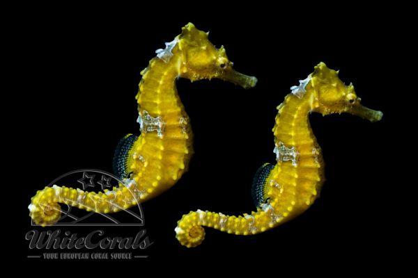 Hippocampus erectus - Gelbes Seepferdchen DNZ (Paar)