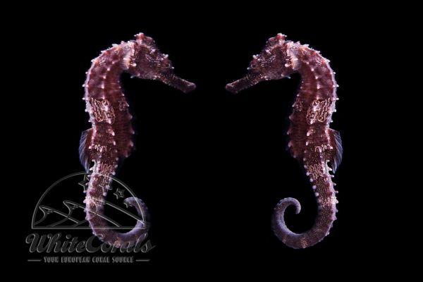 Hippocampus erectus - Seepferdchen - DNZ (Paar)