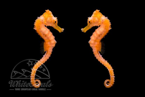 Hippocampus kuda - Orange Estuary Seahorse (Pair)
