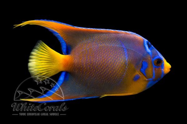 Holacanthus ciliaris - Queen Angelfish