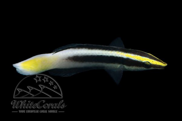 Labroides bicolor - Bicolor cleaner wrasse