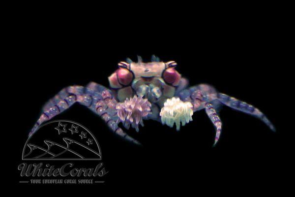 Lybia tesselata - Pom Pom Crab