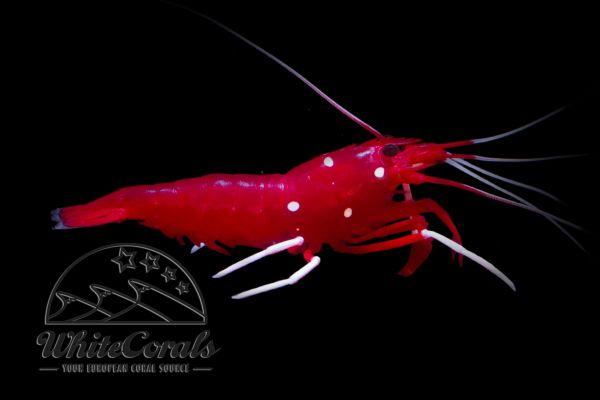 Lysmata debelius - Kardinalsgarnele