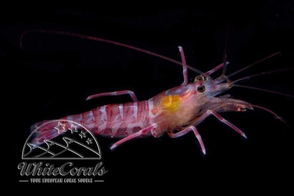 Lysmata kuekenthali - Striped Shrimp