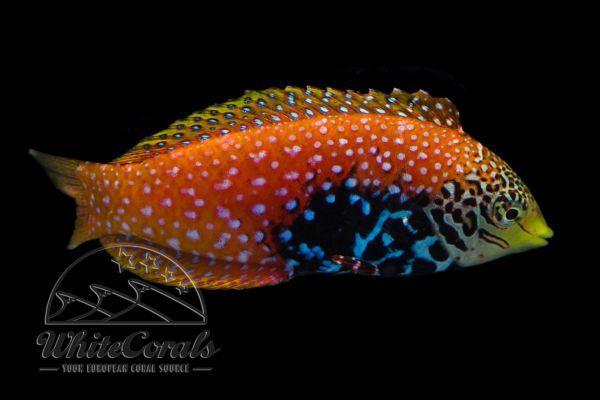 Macropharygnodon bipartitus - Diamant Lippfisch