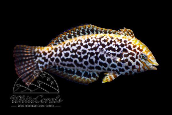 Macropharyngodon meleagris - Leoparden-Junker