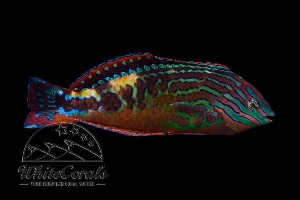 Macropharygnodon bipartitus - Diamant Lippfisch (Männchen)