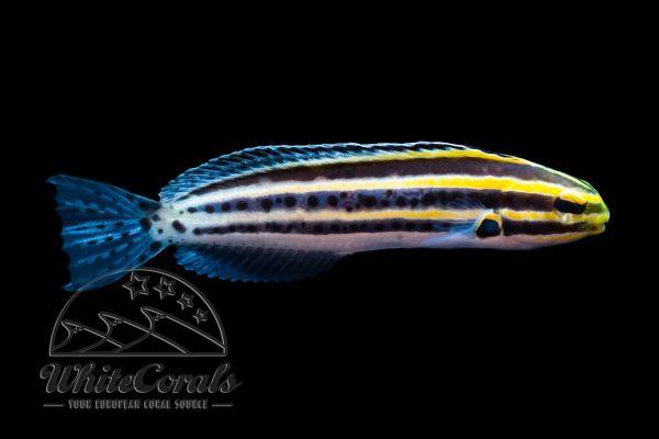 Meiacanthus grammistes - Zebra Saebelzahnschleimfisch