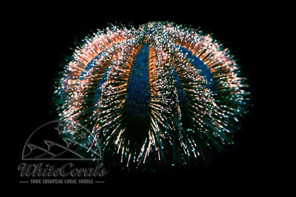 Mespilia globulus - Tuxedo Urchin