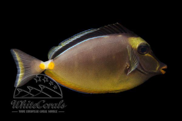 Naso lituratus - Orangespine unicornfish