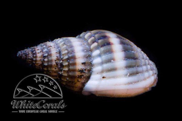 Nassarius margaritifer - Sand Snail