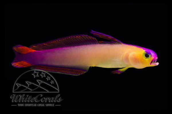 Nemateleotris decora - Purple Firefish
