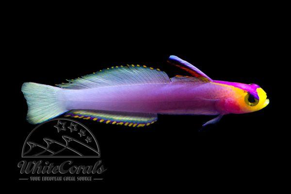 Nemateleotris helfrichi - Helfrichs Dartfish
