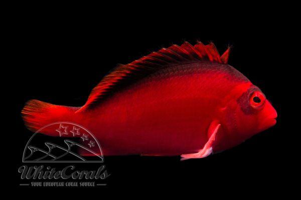 Neocirrhites armatus - Feuer-Korallenwächter