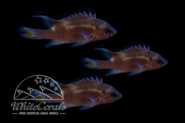Neopomacentrus cyanomos - Regal demoiselle (3-pack)
