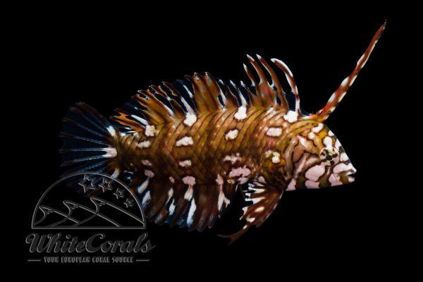 Novaculichthys taeniourus - Bäumchen-Lippfisch