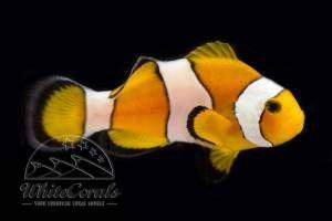 Amphiprion ocellaris - Falscher Clown-Anemonenfisch