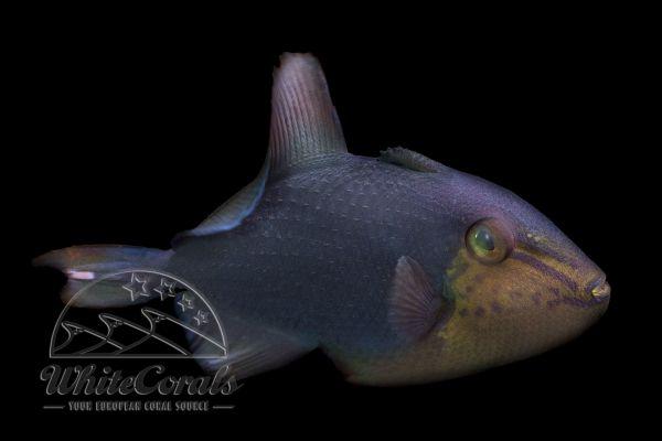 Odonus niger - Redtoothed triggerfish