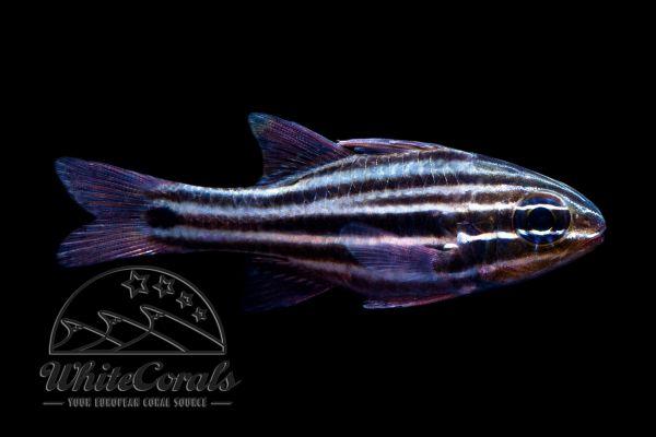 Ostorhinchus (Apogon) cookii - Cooks Cardinalfish