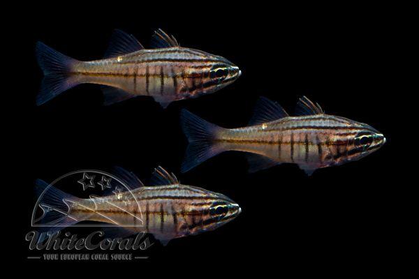 Ostothinchus (Apogon) moluccensis - Molukken-Kardinalbarsch (3er-Pack)