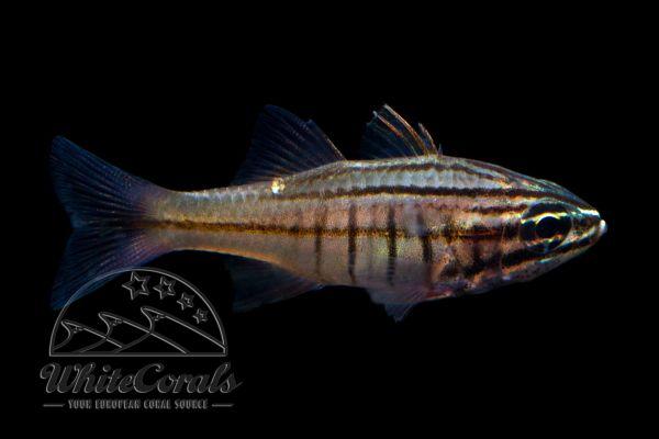 Ostothinchus (Apogon) moluccensis - Molukken-Kardinalbarsch