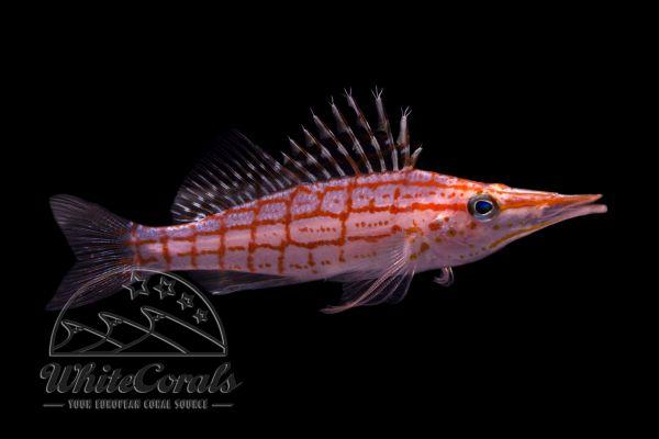 Oxycirrhites typus - Langschnäuziger Korallenwächter