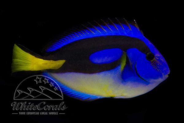 Paracanthurus hepatus - Paletten Doktorfisch (Gelber Bauch)